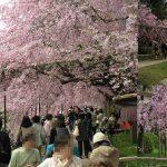 京都の桜5