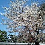 京都御苑の桃林。