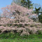 京都府立植物園の大枝垂れ桜